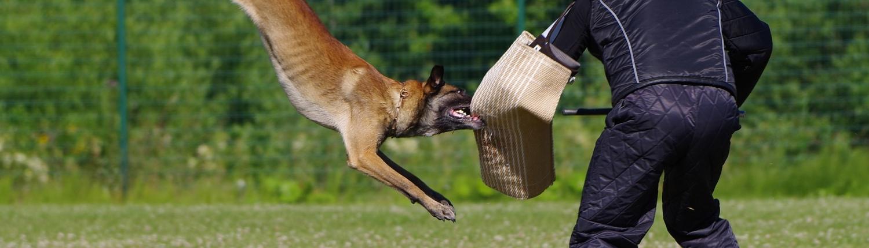 Exercice mordant avec berger et mâtre chien.